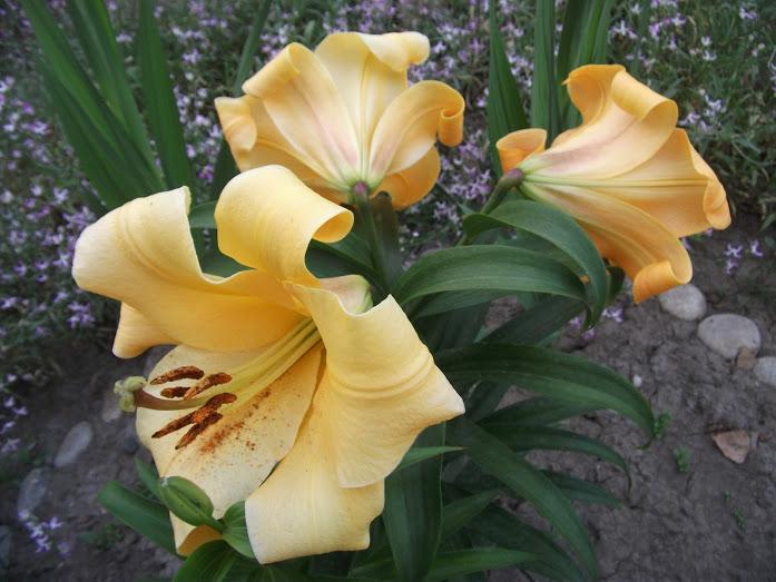 Цветы лилии в фото