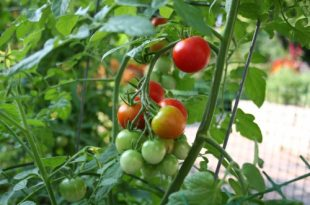 pomidor01
